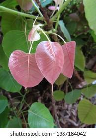 ฺBodhi leaves, pink young leaves of Pipal,  sacred fig.
