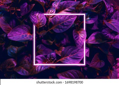 Leaves of a plant in neon light.Leaves of a plant in neon light. place for text. Template banner, poster.