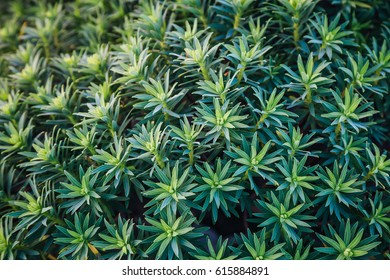 Leaves of plant on the surface. Green pattern of copy space. Natural organic concept. Symmetrical arrangement, flat lay styling. Top view. Creative idea of spring wallpaper. Art photography.