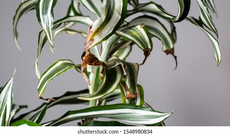 The leaves of the plant are in poor condition. Houseplant diseases