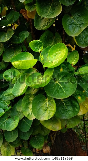 Leaves Polyscias Scutellaria Native Plants Southwest Stock Photo