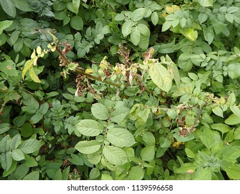 Leaves of potato with diseases, Blight disease of potato caused by fungus,(Phytophthora infestans)