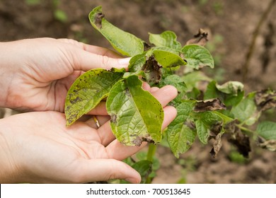 Leaves Of Potato With Diseases. Plant Of Potato Stricken Phytophthora (Phytophthora Infestans) In Vegetable Garden Close Up.