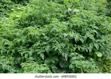 Leaves of potatoes.