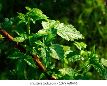 Leaves of raspberry bush, lit by the sun