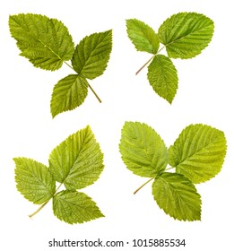 Leaves of a raspberry bush on a white isolated background. Space for text. set, collectionм