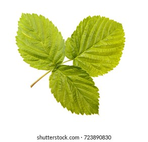 Leaves of a raspberry bush on a white isolated background. Space for text.