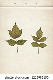 Leaves of raspberry. Herbarium. Pressed and dried herbs. Composition of the leaves on a sheet of old paper.