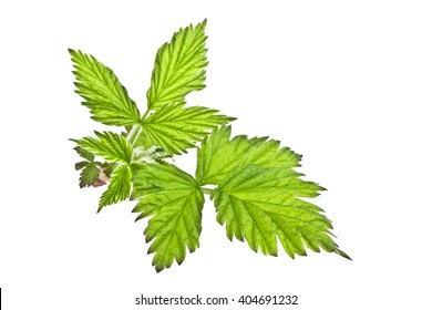 Leaves of raspberry on white background