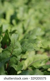 Leaves of red beet.