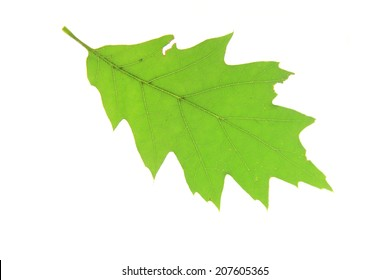 Leaves of red oak (Quercus rubra) isolated against white background