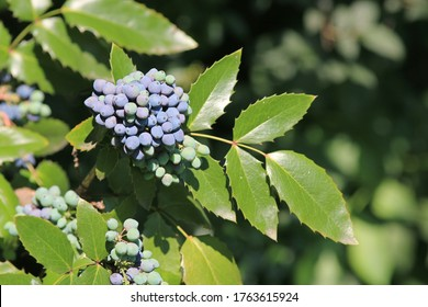 Leaves and ripening fruits on branches of Mahonia aquifolium