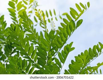 Leaves of Robinia, Robinia pseudoacacia