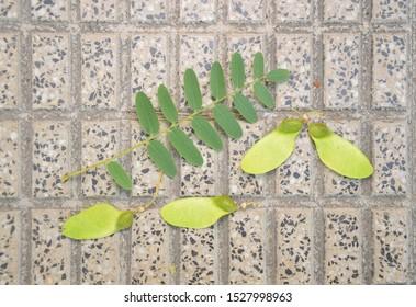 Leaves and Seed Pods of Rosewood Tree on sidewalk Autumn Season