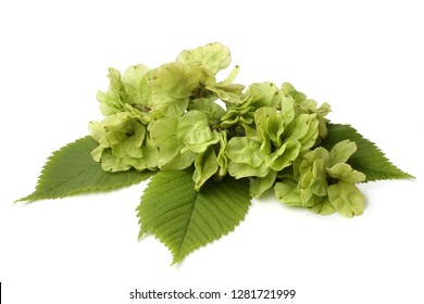 Leaves and seeds of elm on white background