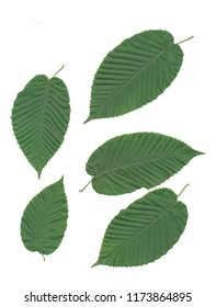 leaves and seeds of hornbeam tree close up