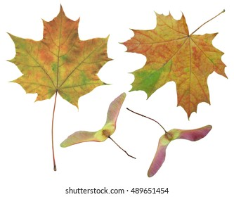 The leaves and seeds of maple on the isolated white background.