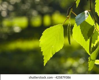 Leaves of Silver birch, Betula pendula, tree in morning sunlight, selective focus, shallow DOF