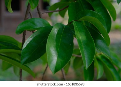 Leaves of Soursop tree or Prickly Custard Apple / Graviola / (Annona muricata L) with nature background. Plant for Treatment of carcinoma or cancer