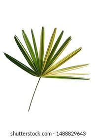 Leaves with stalk of Lady palm isolated on white background. Beautiful tropical foliage decoration plant. Fresh leaf nature background.
