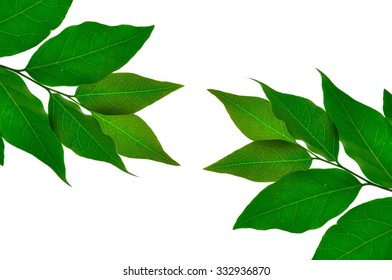 Leaves of the star gooseberry on white background