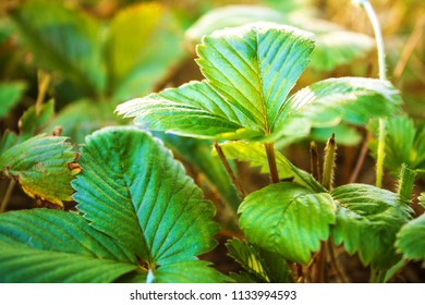 leaves of strawberry