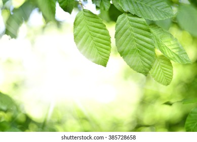 Leaves and sun in a forest. Spring time in a mixed forest. Beech leaves with selective focus and copy space. Nature frame or nature background.