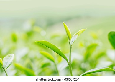 Leaves tea of growing with blurry background.