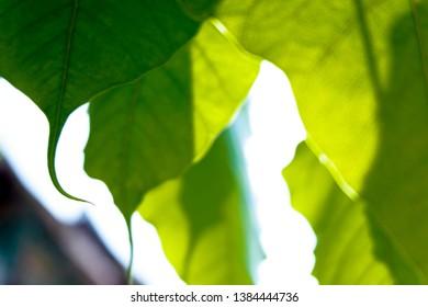 ฺBo leaves that have been illuminated by the sun shining through, showing the patterns of leaves and shadows that look beautiful and strange. Bo leaves are symbols. One of Buddhism