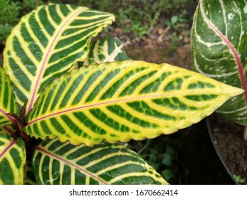 leaves that have yellow and green stripe motifs