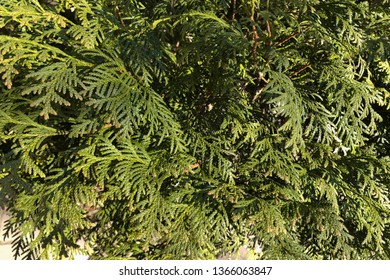 leaves of the thuja tree, background. Thuja occidentalis is an evergreen coniferous tree
