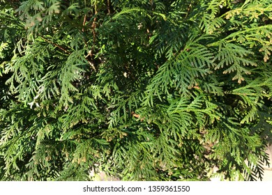 leaves of the thuja tree, background, selective focus. Thuja occidentalis is an evergreen coniferous tree