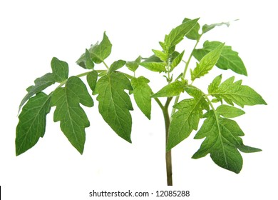 Leaves of tomato plant isolated on white
