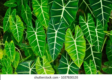 Leaves of the tropical plants