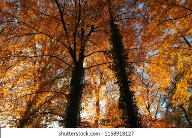 Leaves turn golden during autumn when the sun sets low