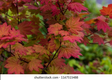 Leaves turning from green to red in the late summer