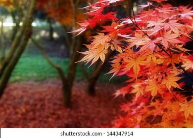 Leaves turning red in Autumnal forest