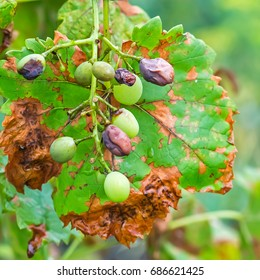 The leaves and unripe berries of grapes are affected by fungal disease, downy Mildew, false mildew ( of plasmopara viticola )