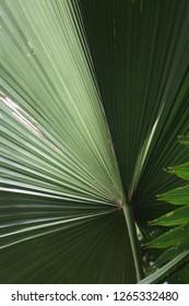 The leaves of Vanuatu Fan Palm in the rainforest. Ruffled Fan Palm, Palas Palm