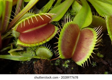 Leaves of the Venus flytrap, Dionaea muscipula, subtropical carnivorous plant close up