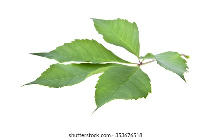 the leaves of vine are isolated on a white background