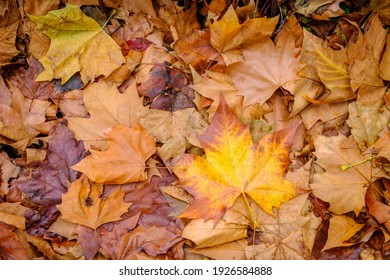 Leaves of vivid autumnal colors of a plane tree, fallen in a park in Galicia (Spain)