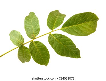 Leaves of walnut tree on white isolated background. Space for text.