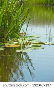 Leaves of water lily swim on surface of tranquil pond (copy space)