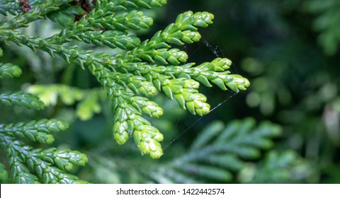 Leaves of Western red cedar (Thuja plicata) tree. Blurred background.