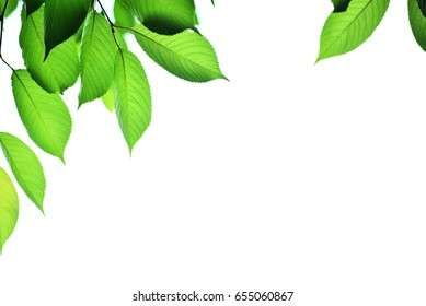 Leaves with white background