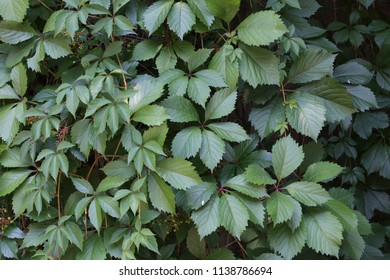 Leaves of wild grapes