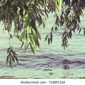 Leaves of a willow tree hanging above the Tisza river in Hungary. Vintage photo.