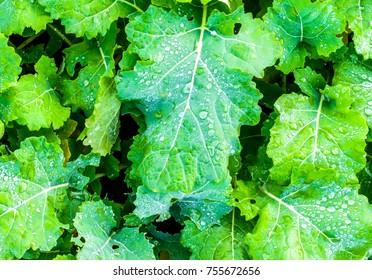 Leaves of winter rape. Green leaf of winter rape. Young canola growing on a field.
