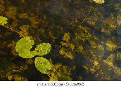 Leaves of Yellow Water-lily (Nuphar lutea) on the river. Floating leaves of the aquatic plant are lit by the evening sun